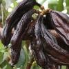 Порошок из плодов рожкового дерева «Кэроб»